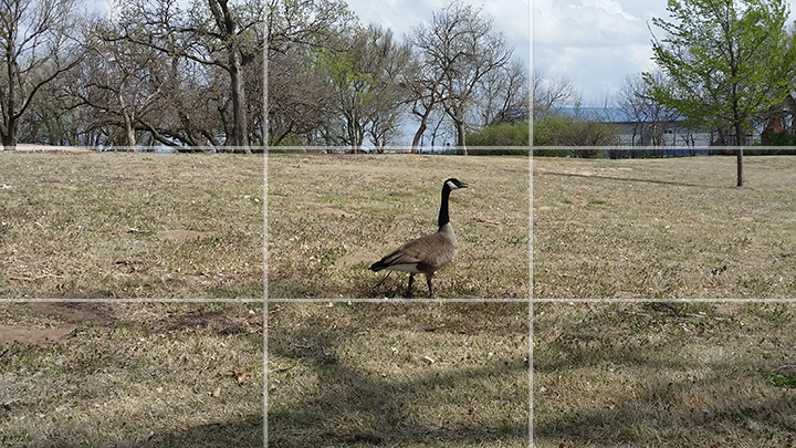 This photo does not follow the rule of thirds. The goose is in the middle of the frame. It is apparent that it is the subject of the photo but it is kind of boring.