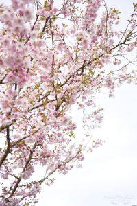 Körsbärsblommor, rosa blommor, körsbärsträd, Falköping, Skövde, Skara, Saraborg, Fotograf i Falköping, Bröllopsfotograf i falköping, Bröllopsfotograf, blommor, vår, maj, sommar