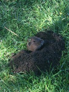 Spring Time Groundhog GGP