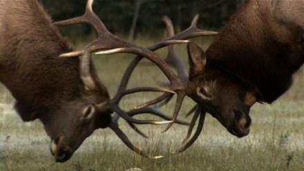 Elk mating ritual