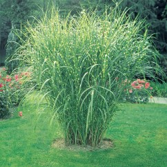 Discount Kitchen Supplies Restain Cabinets Zebra Grass | Henry Field's Seed & Nursery Co.