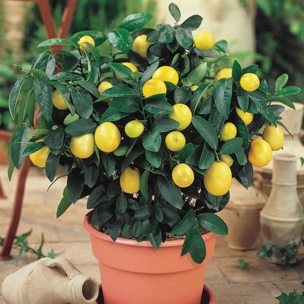 Dwarf Meyer Lemon | Henry Field's Seed & Nursery Co.