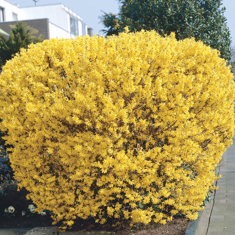 discount kitchen supplies cottage style cabinets previously offered trees & shrubs - lynwood gold forsythia