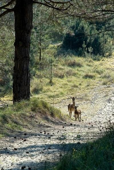 Mouflons dans le Domaine du Marquenterre