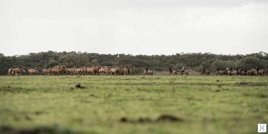 Regroupement des chevaux Henson lors de la Trans'Henson au Parc Ornithologique du Marquenterre | © Agence Arcantide