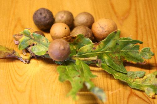 oak-galls-97-p