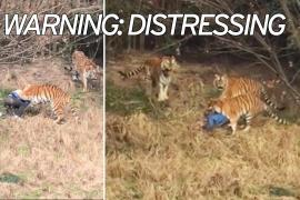 Man Mauled by Tigers