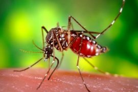 zika virus carried by mosquito