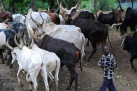 cattle thieves