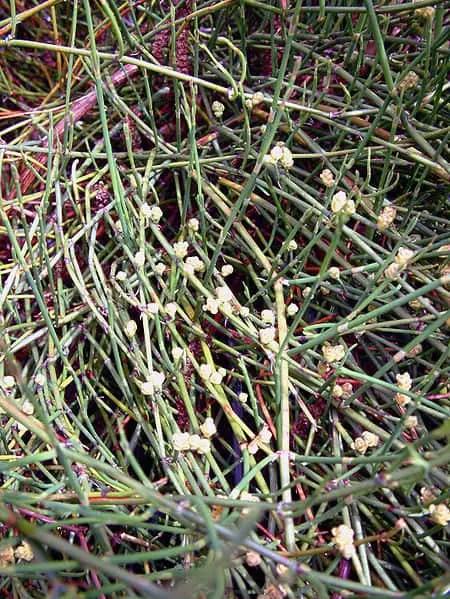 ephedra plant