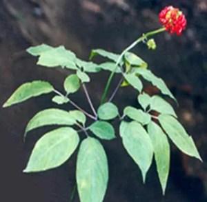 Panax ginseng plant