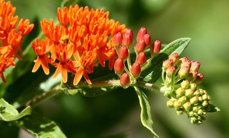 pleurisy root flower