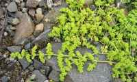 Pin Herniaria-glabra-green-carpet-rupturewort on Pinterest