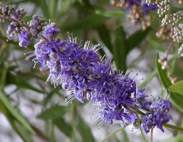 chaste tree berry flower