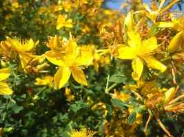 Herbs for Depression - St. John's Wort Flower