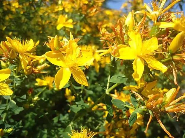 Herbs for Depression - St. John's Wort Flowers