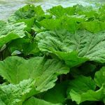 Butterbur for Migraines – Does It Really Work?