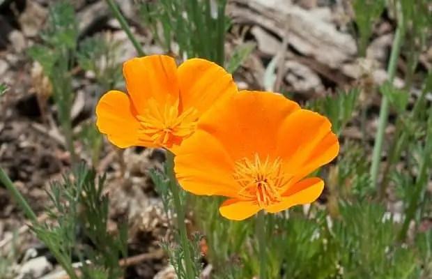 California poppy flower herb