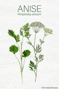 anise herb (Pimpinella anisum)