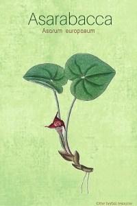 Asarabacca Medicinal Herb