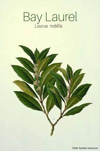 Medicinal Herb Bay Laurel