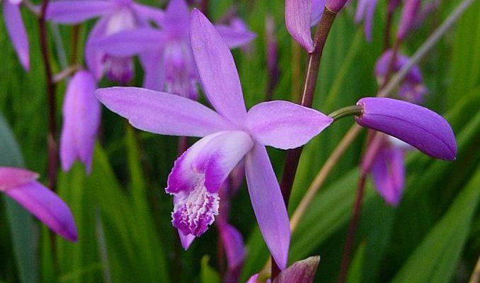 Bletilla Striata Flower