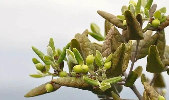 Boldo Herbal Medicine