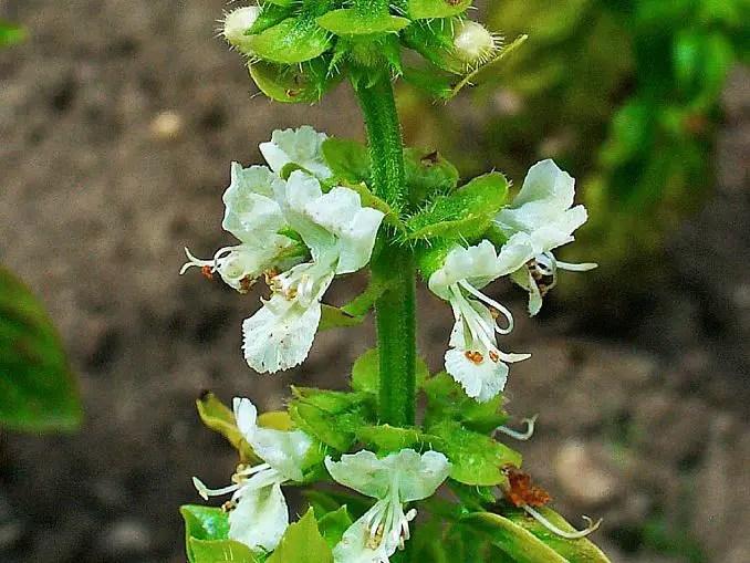 sweet basil flowers