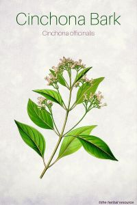 Cinchona Bark (Cinchona officinalis)