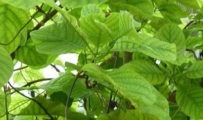 Cinchona Leaves (Cinchona officinalis)