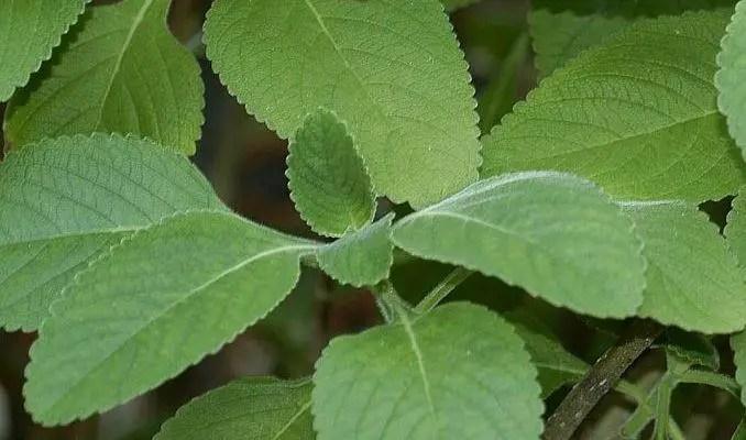 Coleus Forskohlii Uses in Herbal Medicine