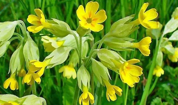 Cowslip Uses in Herbal Medicine