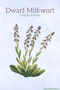 Dwarf Milkwort (Polygala amarella)