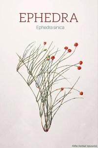 Ephedra – Ma huang (Ephedra sinica)