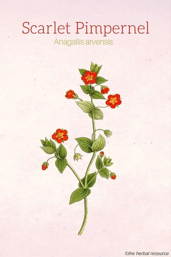 https://i0.wp.com/www.herbal-supplement-resource.com/wp-content/uploads/2016/04/scarlet-pimpernel-anagallis-arvensis-img.jpg?ssl=1