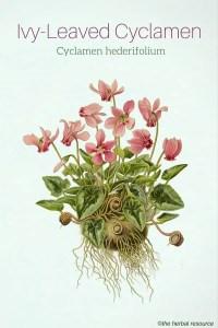 Cyclamen hederifolium