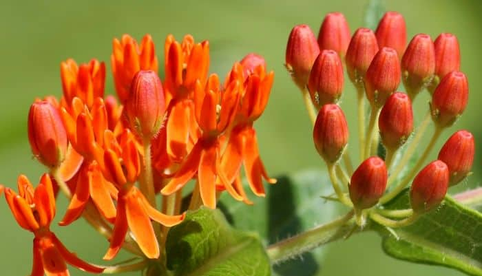 Pleurisy Root Herb