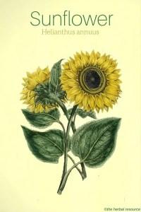 Sunflower Helianthus annuus