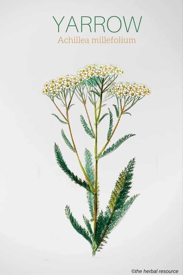 https://i0.wp.com/www.herbal-supplement-resource.com/wp-content/uploads/2017/01/yarrow-achillea-millefolium-img.jpg?ssl=1
