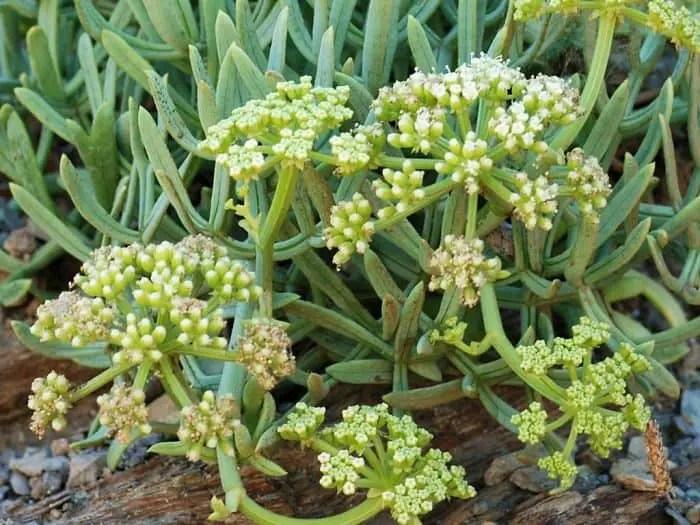 Rock samphire herb
