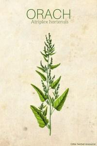 Orach Atriplex hortensis