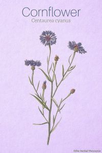 Cornflower Centaurea cyanus