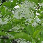 Fringe Tree Uses as a Medicinal Herb