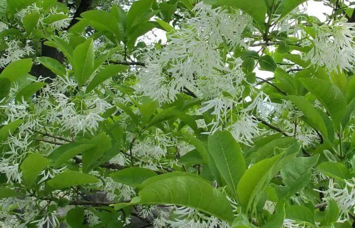 fringe tree herb