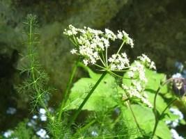 Spignel herb