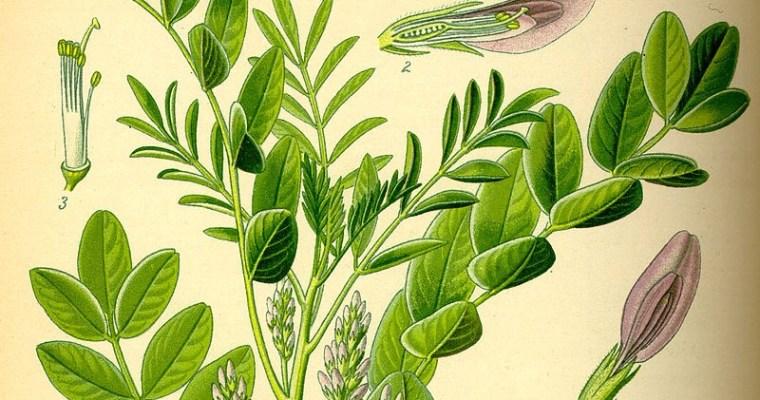 Mugwort Spicebush Stout
