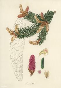 Norway spruce (Pinus Abies) illustration from Medical Botany (1836) by John Stephenson and James Morss Churchill