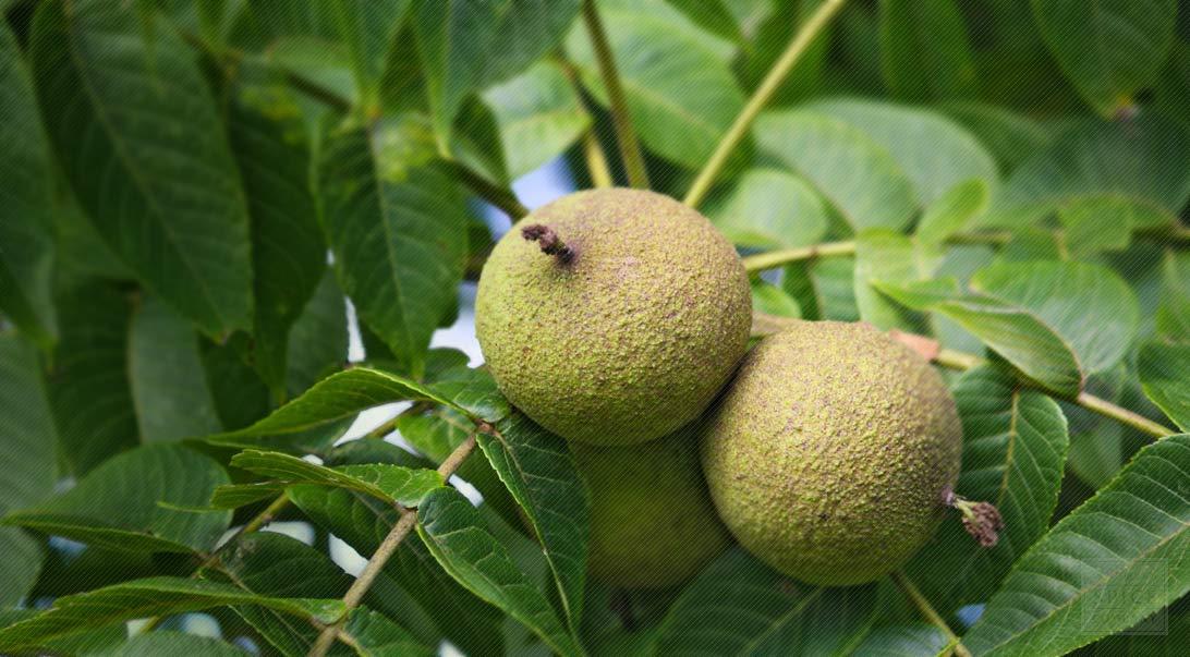 Black Walnut Origin and Black Walnut for High Blood Pressure