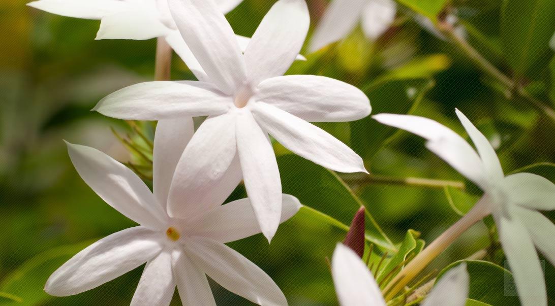 Historia de la flor de jazmín y usos medicinales de la flor de jazmín|saludverdes.com