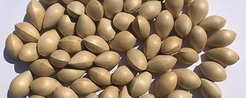 Graines de Ginkgo (yin xing) – 银 杏